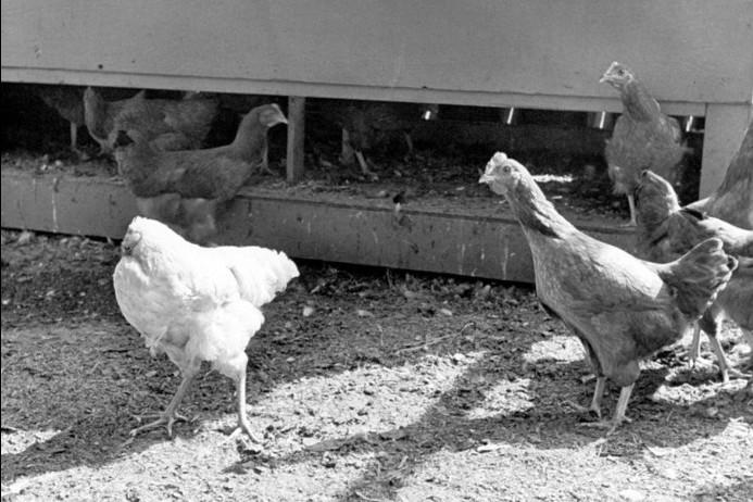 Ο «θαυματουργός Μάικ»: Το κοτόπουλο που έζησε για 18 μήνες χωρίς κεφάλι!