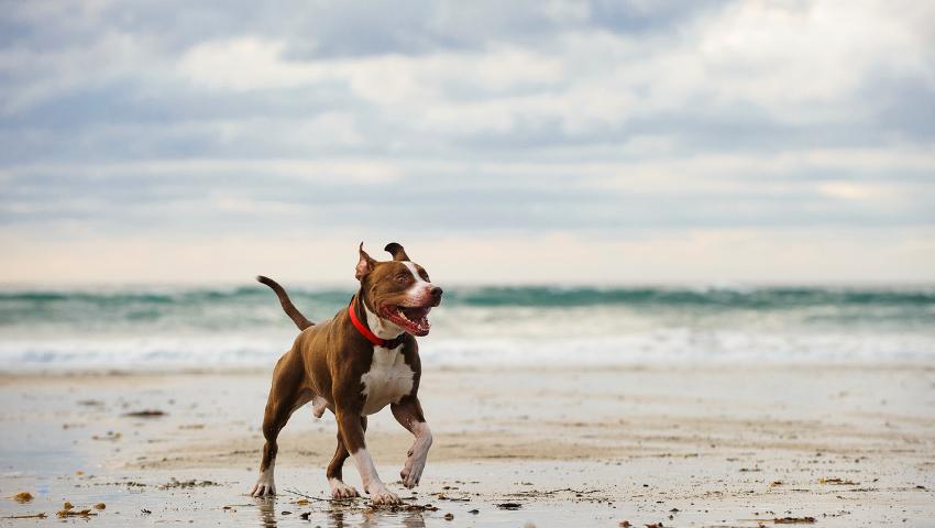 Μύθοι και αλήθειες για τα Πίτμπουλ: Τι πραγματικά συμβαίνει με την πιο παρεξηγημένη ράτσα σκύλου;