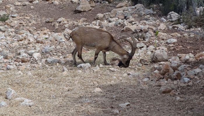 Το λάφυρο του παράνομου κυνηγιού: Τα 2000 τελευταία αγρίμια της Κρήτης που κινδυνεύουν με εξαφάνιση