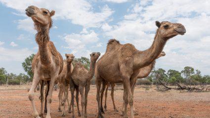 10.000 καμήλες θα θανατωθούν στην Αυστραλία, αλλά τίποτα πια δεν είναι τόσο απλό όσο ακούγεται