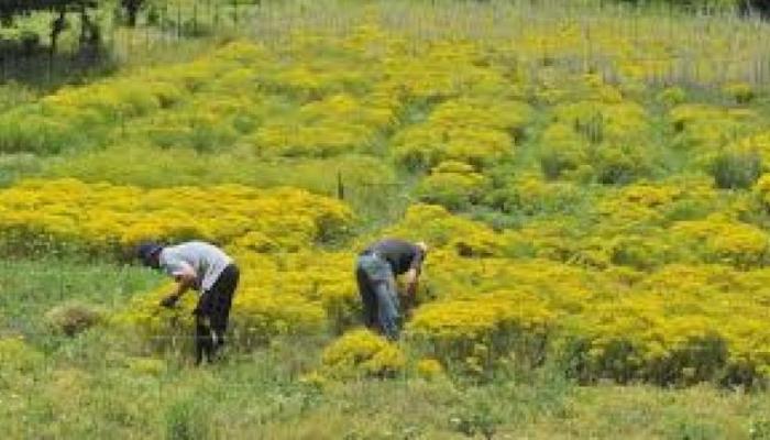 50.000 ευρώ το κιλό: Το παράνομο κυνήγι του φυτού της ελληνικής γης που αξίζει χρυσάφι